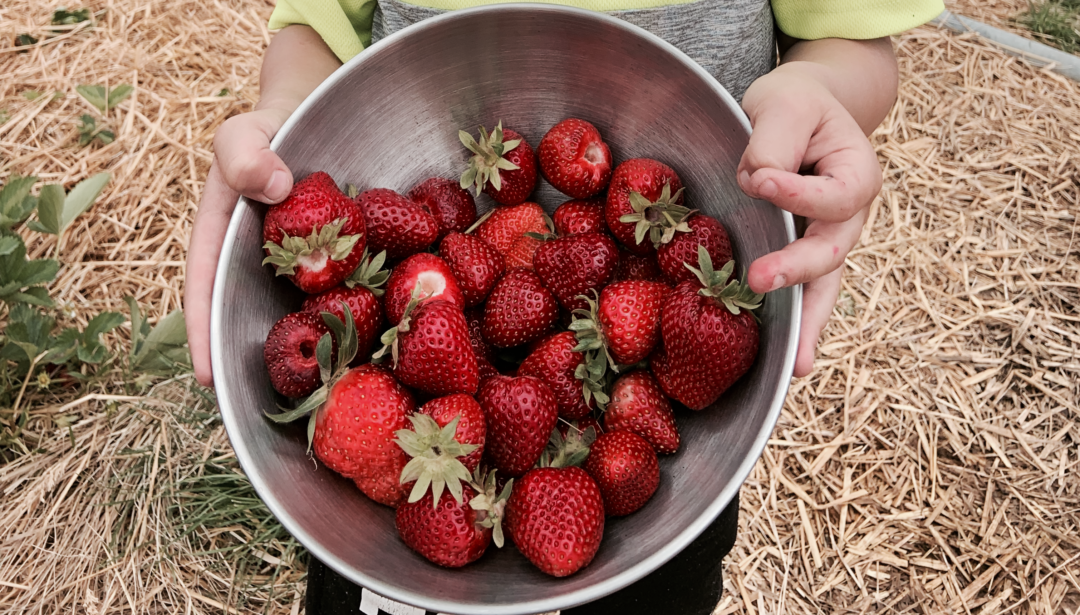 Cueillir des fraises dans le Seeland